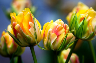Spring Tulips HD Wallpaper for Android, iPhone and iPad