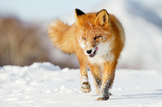 Hungry Fox Picture for Android, iPhone and iPad