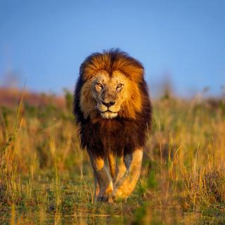 Kenya Animals, Lion - Obrázkek zdarma pro iPad 2