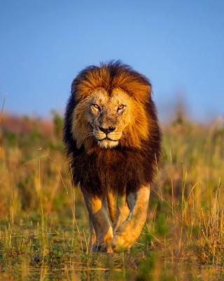 Kenya Animals, Lion - Obrázkek zdarma pro Nokia Asha 310