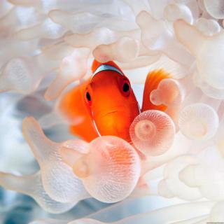 Orange Clownfish - Obrázkek zdarma pro iPad 3