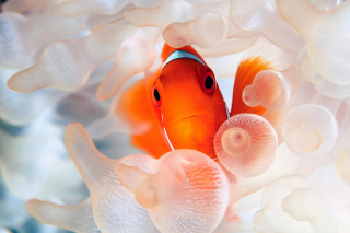 Free Orange Clownfish Picture for Android, iPhone and iPad