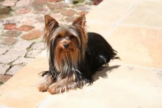 Yorkshire Terrier - Obrázkek zdarma pro Motorola DROID 2