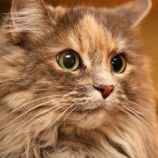 Fluffy cat - Obrázkek zdarma pro iPad