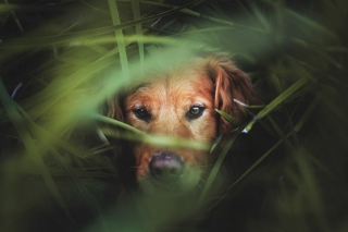 Dog Behind Green Grass Picture for Android, iPhone and iPad
