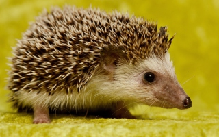 Little Hedgehog Picture for Android, iPhone and iPad