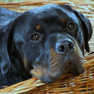 Rottweiler Dog - Obrázkek zdarma pro 2048x2048