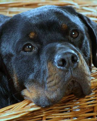 Rottweiler Dog - Obrázkek zdarma pro Nokia X6