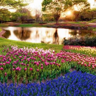 Tulip park on Mainau island in Baden Wurttemberg - Obrázkek zdarma pro 320x320