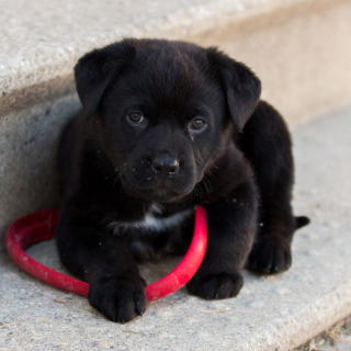 Black puppy - Obrázkek zdarma pro iPad mini