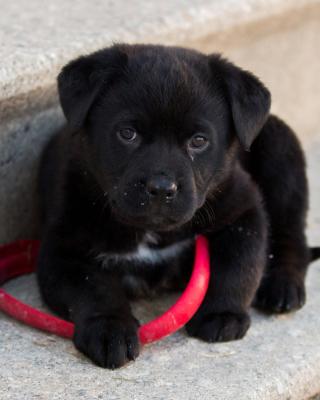 Black puppy - Obrázkek zdarma pro Nokia Lumia 1020