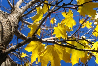 Yellow Maple Leaves Wallpaper for Android, iPhone and iPad