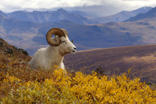 Goat in High Mountains Wallpaper for Android, iPhone and iPad