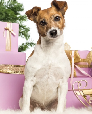 Jack Russell Terrier - Obrázkek zdarma pro Nokia Asha 300