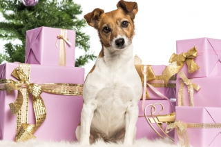 Jack Russell Terrier - Obrázkek zdarma pro Fullscreen 1152x864