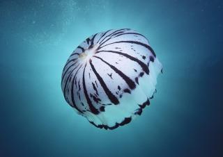 Purple Jellyfish - Obrázkek zdarma pro LG Optimus L9 P760