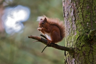 Red Squirrel Background for Android, iPhone and iPad