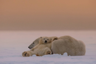 White Bears Family - Obrázkek zdarma pro 480x360