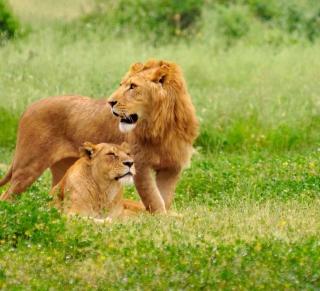 Lion And Lioness - Obrázkek zdarma pro 1024x1024