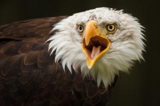 Eagle - Obrázkek zdarma pro Nokia Asha 302