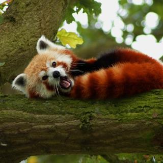 Red Panda Yawning - Obrázkek zdarma pro 2048x2048