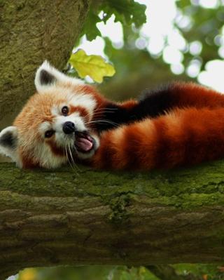 Red Panda Yawning - Obrázkek zdarma pro Nokia 300 Asha