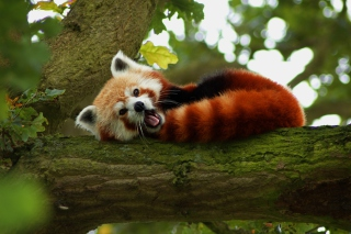 Red Panda Yawning - Obrázkek zdarma pro Fullscreen Desktop 800x600