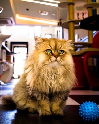 Shaggy Cat - Obrázkek zdarma pro Nokia Lumia 720