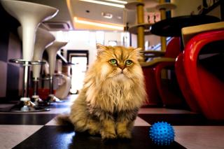 Shaggy Cat - Obrázkek zdarma pro 1366x768