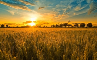 Sunset And Wheat Field Picture for Android, iPhone and iPad
