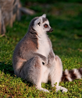 Lemur - Obrázkek zdarma pro iPhone 3G