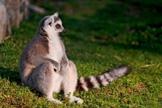 Lemur - Obrázkek zdarma pro Android 1280x960