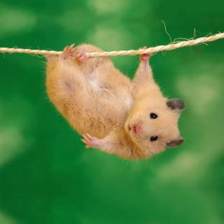 Funny Hamster - Obrázkek zdarma pro iPad
