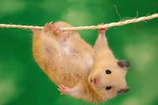 Funny Hamster - Obrázkek zdarma pro Fullscreen 1152x864