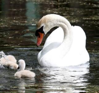 Swan - Obrázkek zdarma pro 320x320