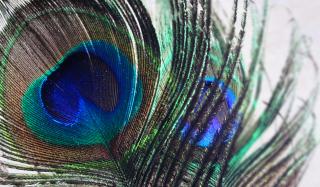 Peacock Feather - Obrázkek zdarma pro Nokia Asha 205
