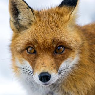 Fox Look - Obrázkek zdarma pro iPad