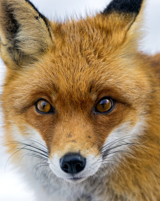 Fox Look - Obrázkek zdarma pro Nokia Asha 503