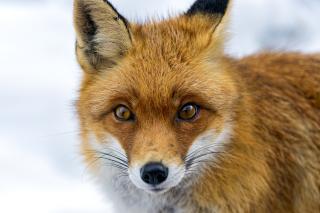 Fox Look - Obrázkek zdarma pro Sony Xperia Tablet Z