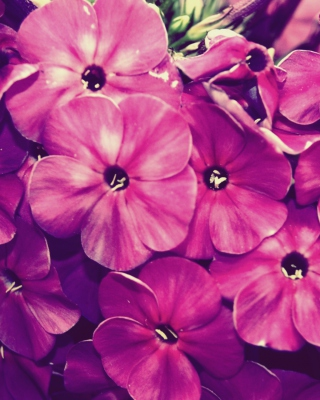 Flowers - Obrázkek zdarma pro Nokia Asha 202