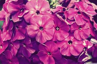 Flowers - Obrázkek zdarma pro LG P970 Optimus