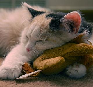 Sleeping Kitten - Obrázkek zdarma pro iPad 2