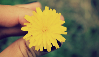 Yellow Dandelion Flower Picture for Android, iPhone and iPad