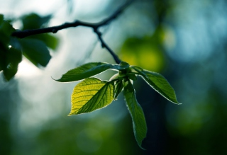 Green Leaves Wallpaper for Android, iPhone and iPad