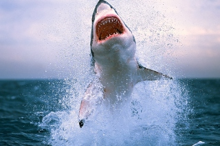 Shark Attack - Obrázkek zdarma pro Fullscreen Desktop 1024x768