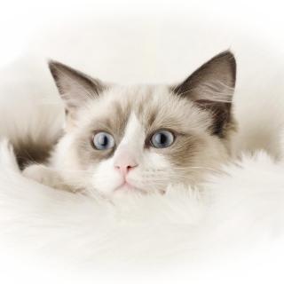 Ragdoll Cat - Obrázkek zdarma pro 1024x1024