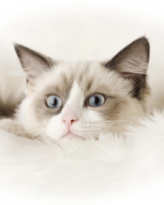 Ragdoll Cat - Obrázkek zdarma pro 352x416