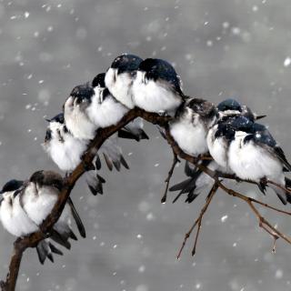Frozen Sparrows - Obrázkek zdarma pro iPad 3