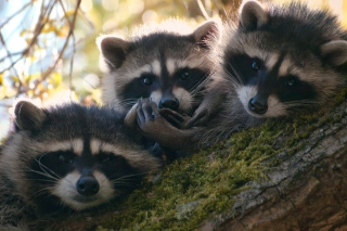 Free Racoons Picture for Android, iPhone and iPad