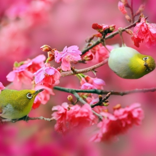 Birds and Cherry Blossom - Obrázkek zdarma pro 1024x1024